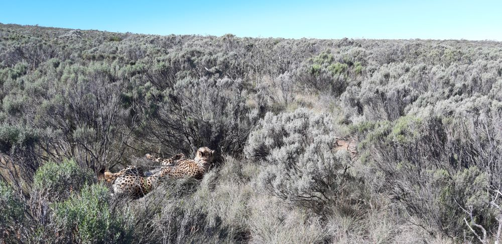 Madoda, the male cheetah at Mount Camdeboo
